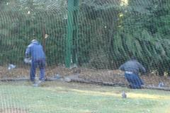 Palomeras - Recogiendo palomas